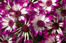 Fleur blanche et mauve ressources Biodanza-Lille et Nord-Pas de Calais 59-62 avec Gerard Lallez